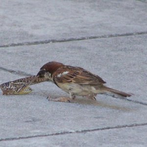 "Not something you see everyday!  This house sparrow just ""hawked"" the grasshopper in mid air and ate the lot.  Taken in Kephalonia"