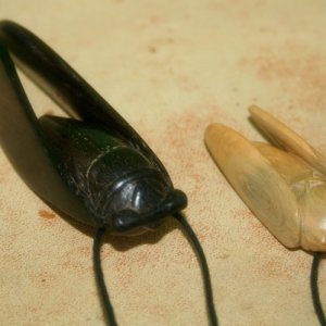 Ebony and Boxwood Cicada