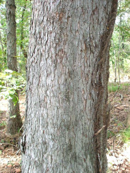 elm tree bark. ark of a big old tree past